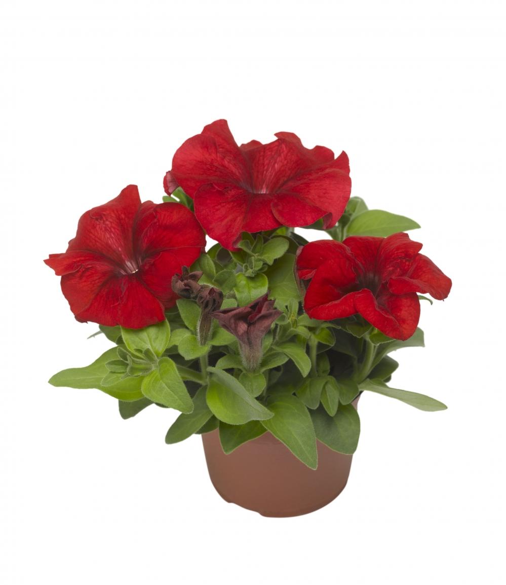 Цветы, семена цветов на заказ профессиональные г.томск ул.крылова д.21